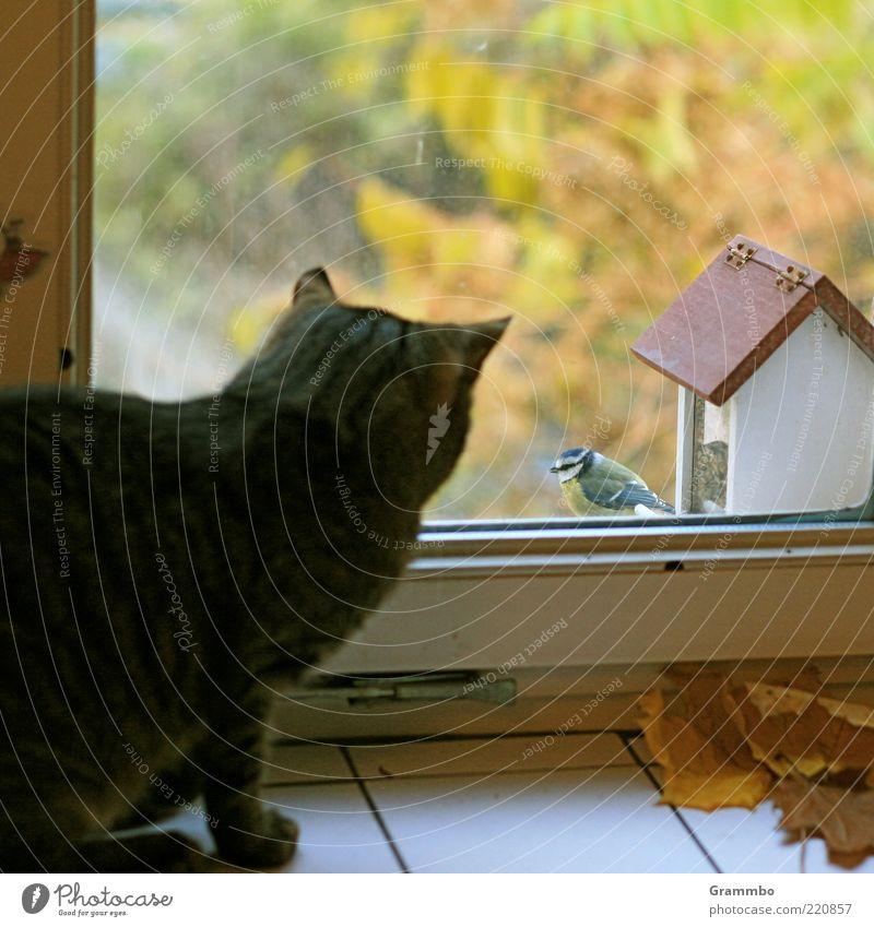 Smalltalk Tier Ferne Fenster Katze Vogel sitzen Sicherheit bedrohlich beobachten Neugier Haustier frech Herbstlaub Unbekümmertheit Fensterrahmen Meisen
