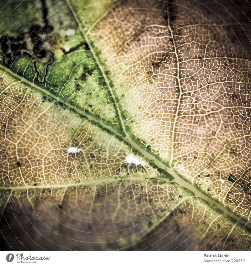 Mr. November Umwelt Natur Pflanze Urelemente Blatt außergewöhnlich authentisch natürlich schön Stimmung Strukturen & Formen Blattadern Verfall Linie grün zart