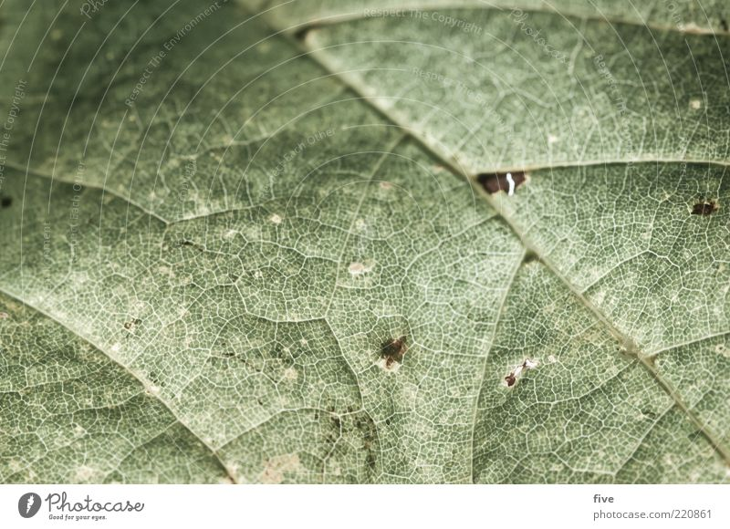 miss oktober Natur alt Pflanze Blatt Herbst Umwelt Blattadern Herbstlaub Grünpflanze Makroaufnahme Blattgrün Blattunterseite
