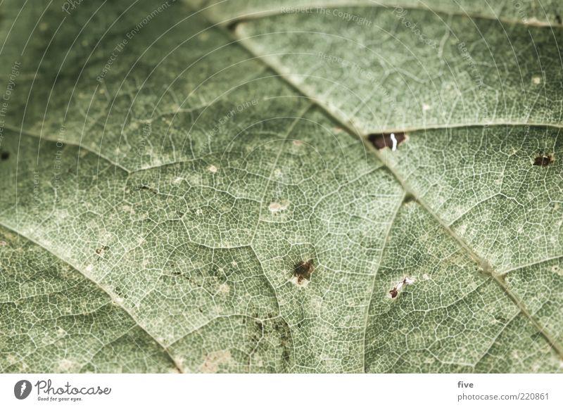 miss oktober Natur Herbst Pflanze Blatt Grünpflanze alt Herbstlaub Blattadern Farbfoto Außenaufnahme Detailaufnahme Makroaufnahme Strukturen & Formen Tag