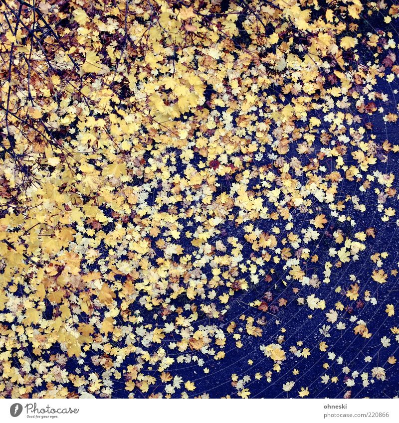 Falling down Natur Erde Herbst Wetter Blatt gelb gold Farbfoto Außenaufnahme Muster Vogelperspektive Ahornblatt Herbstlaub herbstlich Herbstfärbung Herbstwetter