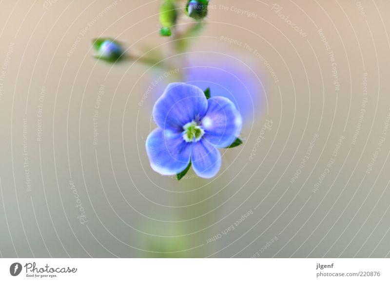 Vergissmeinnicht (forget-me-not) Umwelt Natur Pflanze Blume Blüte Wildpflanze ästhetisch authentisch schön klein positiv blau grün weiß Stil Farbfoto mehrfarbig