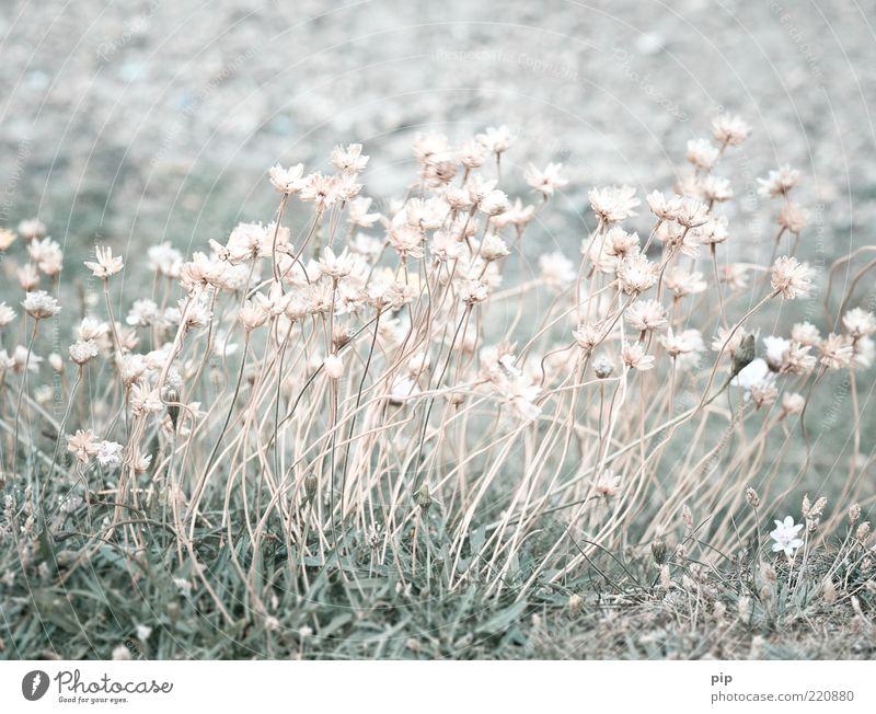 des grases blume Natur Pflanze Sommer Blume Gras Blüte Wildpflanze Halm Wiese mehrere zartes Grün dünn hell viele rosa Vergänglichkeit trocken verdorrt karg
