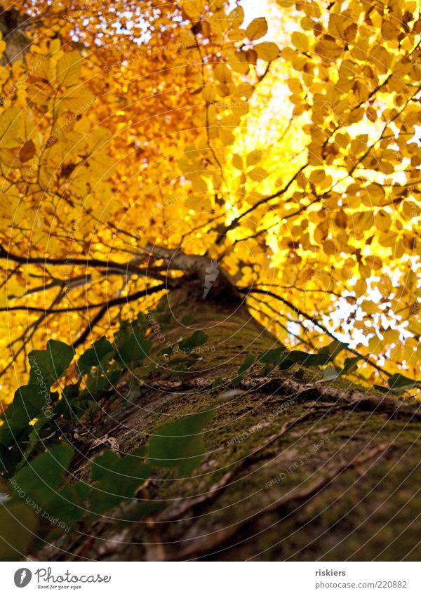 Goldrausch Umwelt Natur Pflanze Sonnenlicht Herbst Baum verblüht Wachstum alt ästhetisch gigantisch gelb gold Farbe Zufriedenheit Idylle Vergänglichkeit