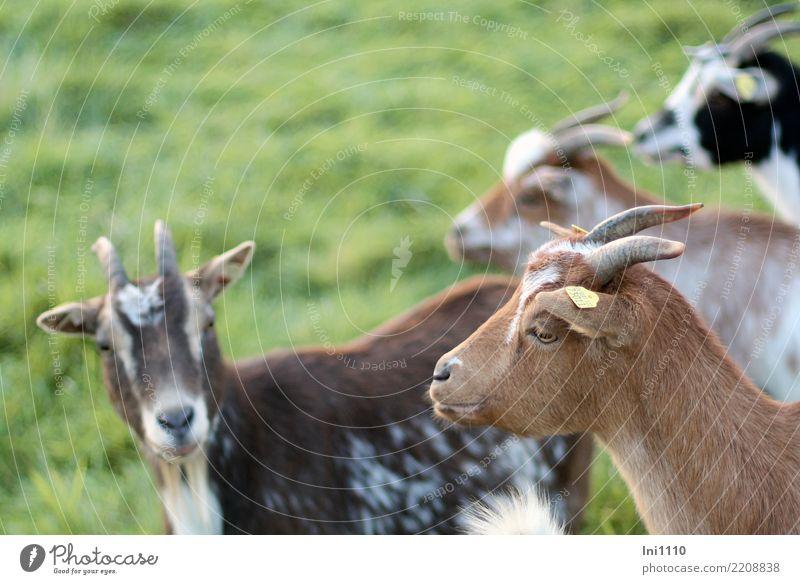 Ziegen Haustier Nutztier 4 Tier Tiergruppe Freundlichkeit schön braun grau grün schwarz weiß Ziegenfell Horn Lichteinfall Menschengruppe träumen Wachsamkeit