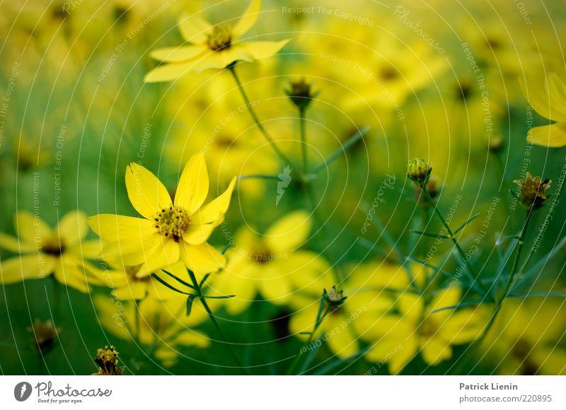 Ms. July Umwelt Natur Pflanze Sommer Blume Blüte Grünpflanze Wildpflanze atmen Blühend Duft Freundlichkeit frisch gelb Stimmung Glück schön Farbfoto