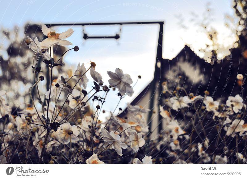 Riechst du wie das duftet Himmel Natur weiß Pflanze Blume Wiese Gras Garten Blüte Blühend Stengel Duft Schaukel Blauer Himmel Blütenblatt Dachgiebel