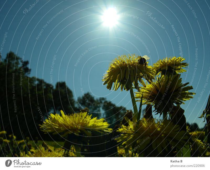 Mit Löwenzahn und Hummel gen Sonne Natur Himmel Blume blau Pflanze Sommer gelb Wiese Blüte Frühling Wärme sitzen authentisch nah Flügel