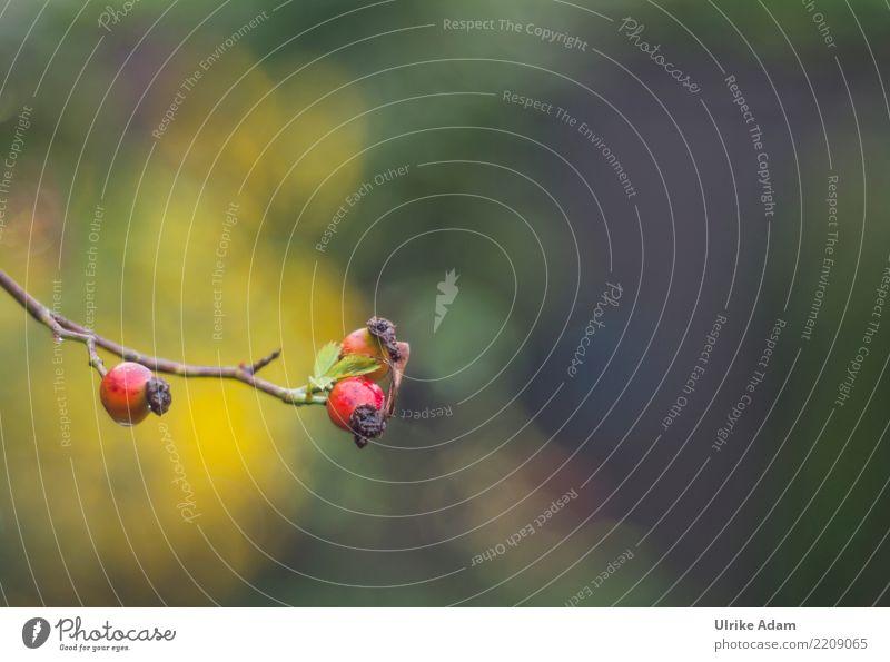 Hagebutten Frucht Gesundheit Behandlung Alternativmedizin Gesunde Ernährung Leben harmonisch Wohlgefühl Zufriedenheit Erholung ruhig Meditation Natur Pflanze