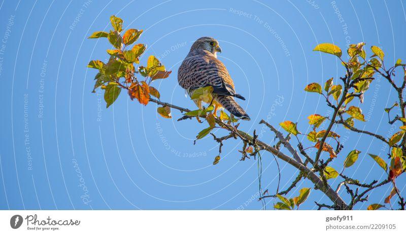 Wo ist die Beute..... Ausflug Umwelt Natur Himmel Wolkenloser Himmel Sonnenlicht Herbst Schönes Wetter Baum Blatt Park Wald Tier Wildtier Vogel Tiergesicht