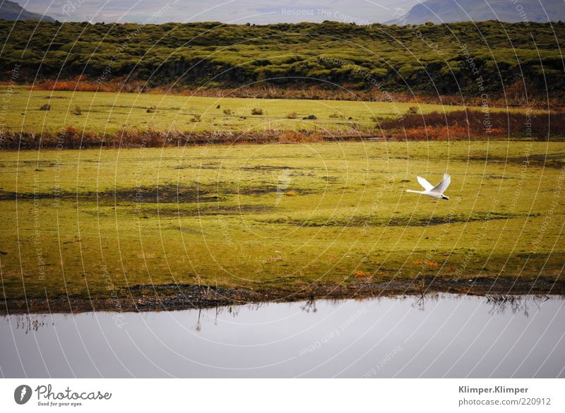 Glückliche Gans. Ferne Freiheit Berge u. Gebirge Umwelt Natur Landschaft Pflanze Tier Erde Luft Wasser Herbst Gras Hügel Seeufer Flussufer Fjord Wildtier Vogel