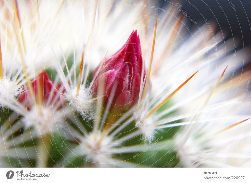 gefährliche Schöhnheit Natur Pflanze rot Blüte rosa Spitze Duft trocken Blütenknospen Kaktus Anschnitt Stachel stachelig Bildausschnitt Dorn Defensive