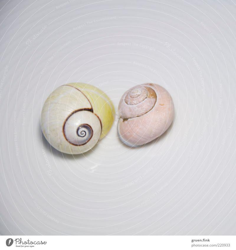 zweisam weiß Tier gelb Linie rosa elegant Kreis ästhetisch authentisch nah rein Wildtier exotisch Schnecke Spirale Schneckenhaus