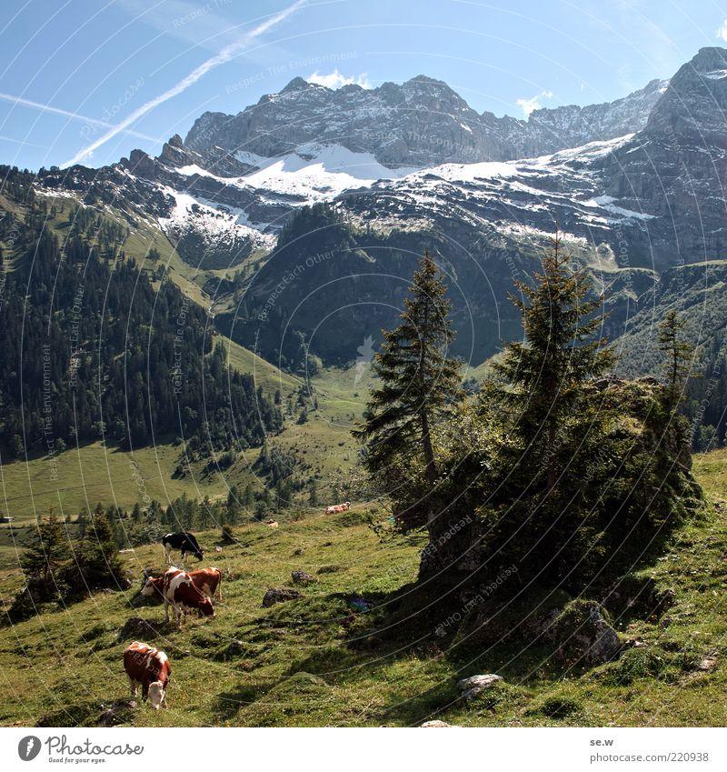 Beef in paradise Himmel Sommer Schnee Baum Alm Wiese Alpen Berge u. Gebirge Kalkalpen Karwendelgebirge Ahornboden Schneebedeckte Gipfel Nutztier Kuh Tiergruppe