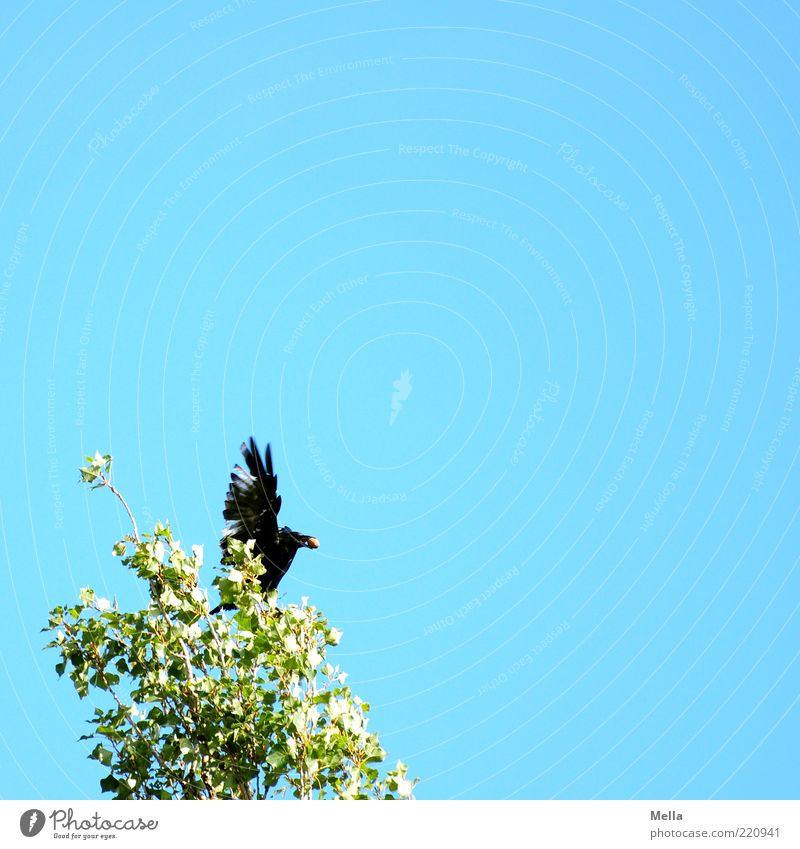 Gewonnen! Umwelt Natur Pflanze Tier Himmel Baum Blatt Baumkrone Vogel Flügel Krähe Aaskrähe 1 natürlich oben blau grün Gefühle Begeisterung Zufriedenheit