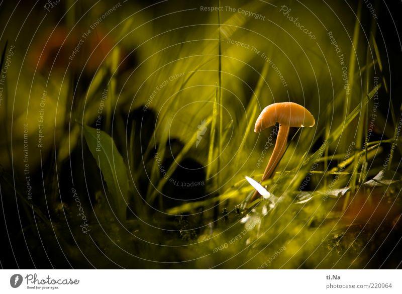 Sonnenhütchen Natur grün Pflanze Wiese Herbst Gras hell klein Umwelt Wachstum natürlich Pilz Schönes Wetter Pilzhut hellbraun