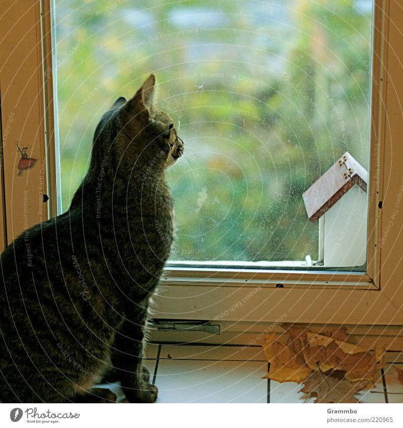 Sehnsucht Tier Fenster Katze warten sitzen Wachsamkeit Fensterscheibe Haustier Herbstlaub Muster Futterhäuschen Fensterblick Tigerfellmuster