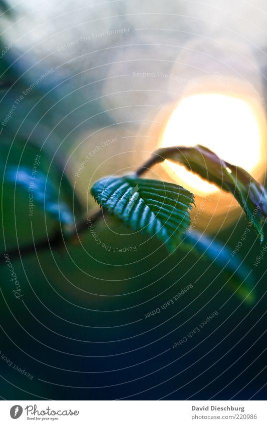 Blue hour Natur weiß grün Sommer Sonne Pflanze Blatt ruhig gelb Luft glänzend Schönes Wetter Jahreszeiten Zweig Blendenfleck Blattgrün