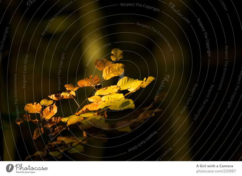 where the sun came through Natur Baum Pflanze Blatt Wald Herbst Wärme Umwelt gold leuchten Schönes Wetter Herbstlaub herbstlich dehydrieren Herbstfärbung