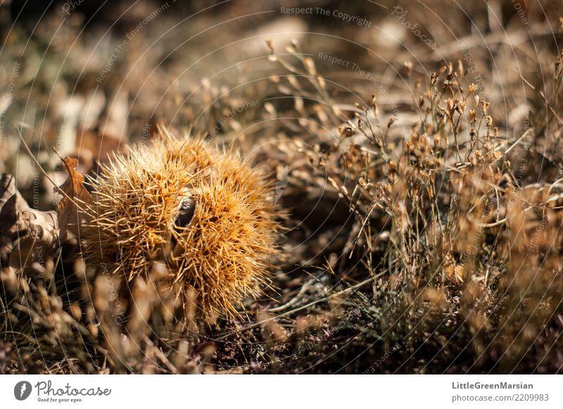 Schutz Lebensmittel Kastanie Kastanienbaum Ernährung Natur Pflanze Erde Herbst stachelig trocken Boden Spitze Jahreszeiten Ernte Maronen Winter Farbfoto