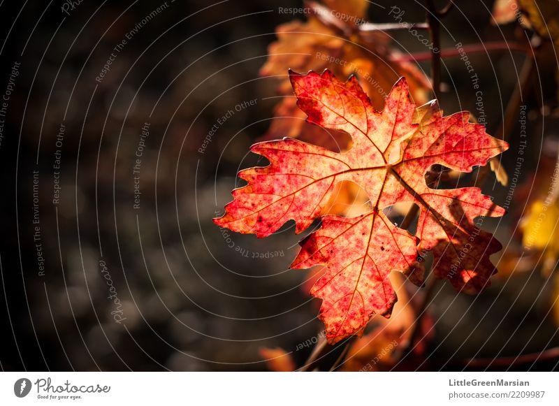 50 Schattierungen von Rot [2] Natur Pflanze schön Sonne rot Blatt Umwelt Herbst orange gold Getränk Wein Ernte Oktober Weinbau
