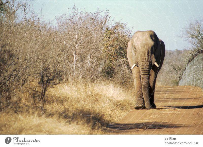 Schwerverkehr Natur Erde Sand Tier Elefant 1 ästhetisch Farbfoto Außenaufnahme Totale laufen Tierporträt Ganzkörperaufnahme Safari Wegrand Stoßzähne