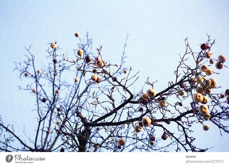 Alter Freund Natur alt Winter kalt Wetter Zeit hoch Vergänglichkeit Ast Apfel Zweig Schönes Wetter Blauer Himmel Rest kahl Apfelbaum