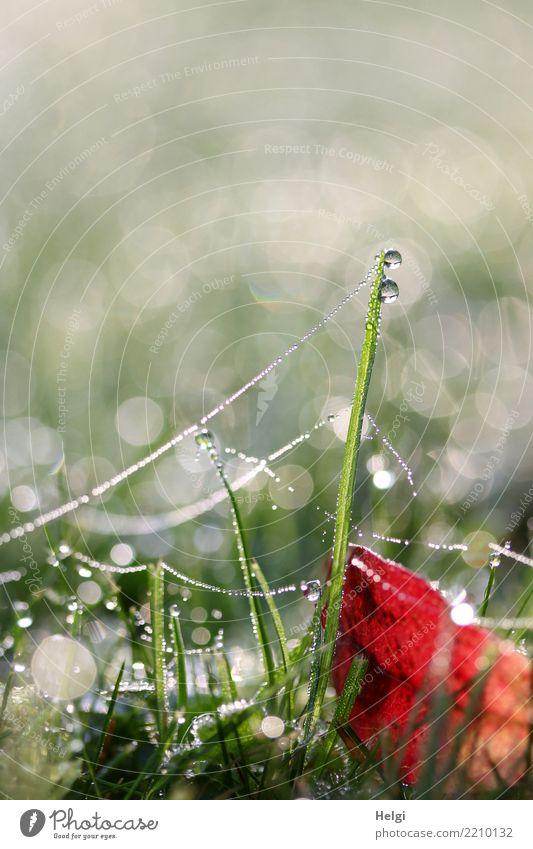 Tautropfen ... Umwelt Natur Pflanze Wassertropfen Herbst Gras Blatt Grünpflanze Garten Spinnennetz glänzend hängen liegen stehen ästhetisch außergewöhnlich