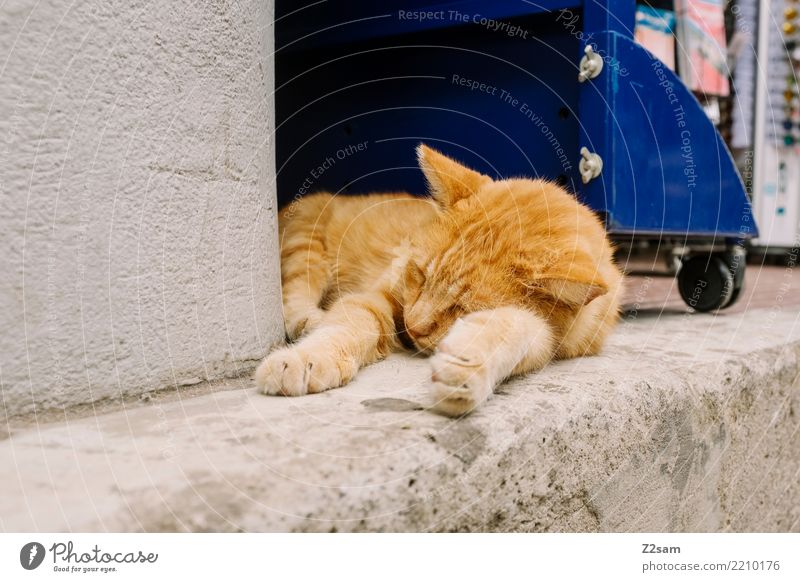 hundemüde Ferien & Urlaub & Reisen Sommerurlaub Dorf Stadt Tier Haustier Katze Erholung liegen schlafen elegant niedlich gold Vorsicht Gelassenheit ruhig