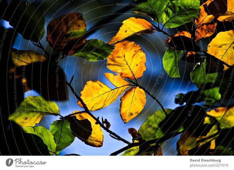 Herbstliches Blattwerk Natur grün Pflanze schwarz gelb dunkel hell braun leuchten Ast Jahreszeiten zeigen Herbstlaub herbstlich