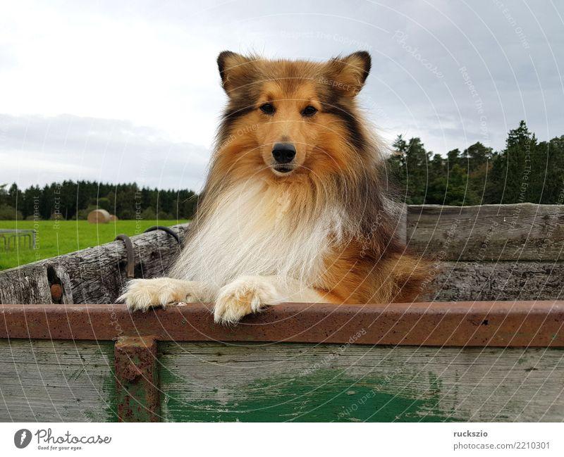 Sheltie, Shetland Sheepdog Hund Freude Glück braun authentisch Haustier Säugetier klug Nutztier