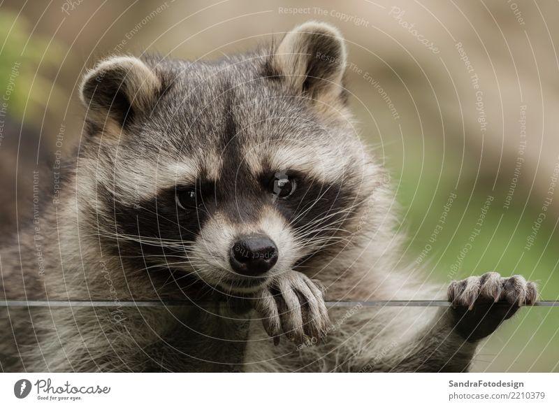 A sweet little racoon Stil Freude Zoo Natur Tier Park Tiergesicht 1 beobachten träumen Freundlichkeit Sympathie Freundschaft Tierliebe Gelassenheit geduldig