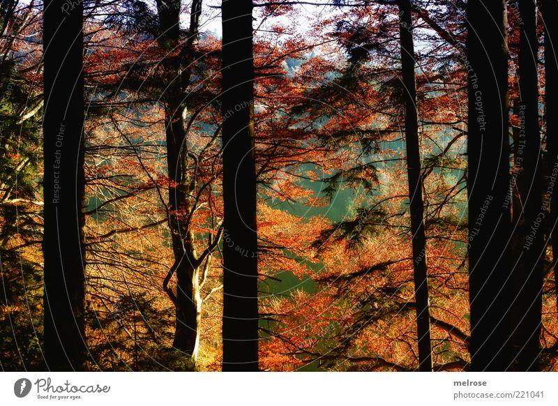 vor lauter Bäume den Wald nicht sehen ... Umwelt Natur Landschaft Himmel Sonnenlicht Herbst Schönes Wetter Baum Blatt Holz braun gelb gold grün schwarz Farbfoto