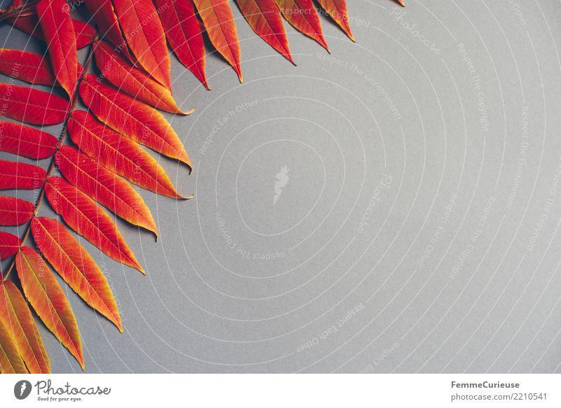 Autumn 16 Natur Herbst herbstlich Herbstlaub Herbstfärbung Herbstbeginn Blatt Farbe grau Farbfoto Innenaufnahme Studioaufnahme Textfreiraum rechts