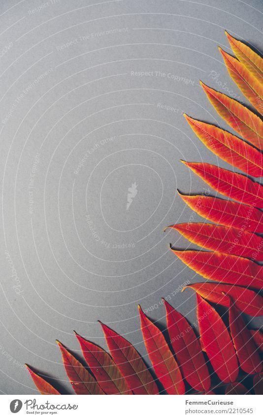 Autumn 14 Natur Herbst herbstlich Herbstlaub Herbstfärbung Herbstbeginn grau Blatt Farbe Farbfoto Innenaufnahme Studioaufnahme Hintergrund neutral