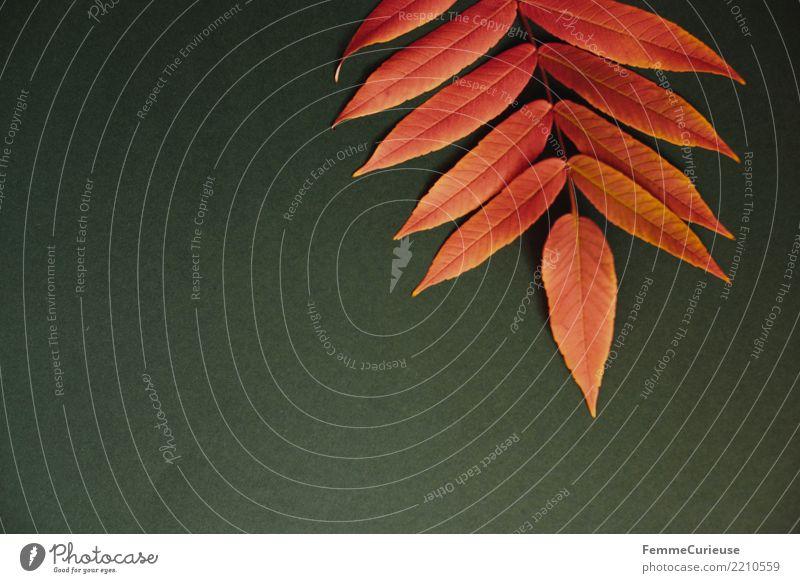 Autumn 22 Natur Herbst herbstlich Herbstlaub Herbstfärbung Herbstbeginn Blatt Farbe dunkelgrün rot Farbfoto Innenaufnahme Studioaufnahme Textfreiraum links