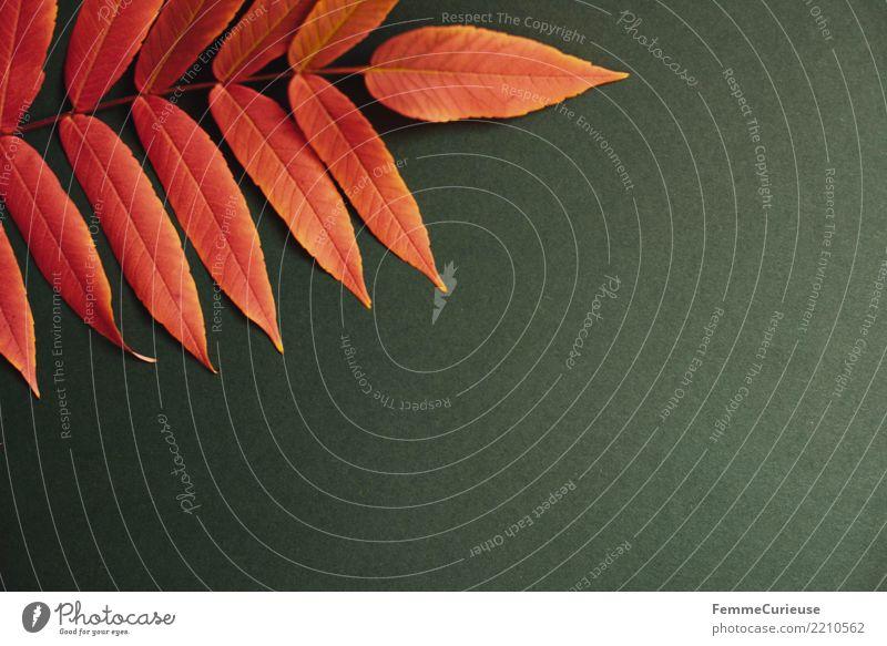 Autumn 11 Natur Blatt Farbe rot grün Herbst Papier Karton herbstlich dunkelgrün Farbfoto Innenaufnahme Studioaufnahme Textfreiraum rechts Textfreiraum unten