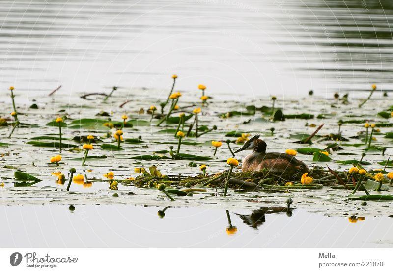 Der nächste Frühling kommt bestimmt Umwelt Natur Landschaft Pflanze Tier Wasser Wildpflanze Seerosen Seerosenteich Teich Wildtier Vogel Haubentaucher 1 Blühend
