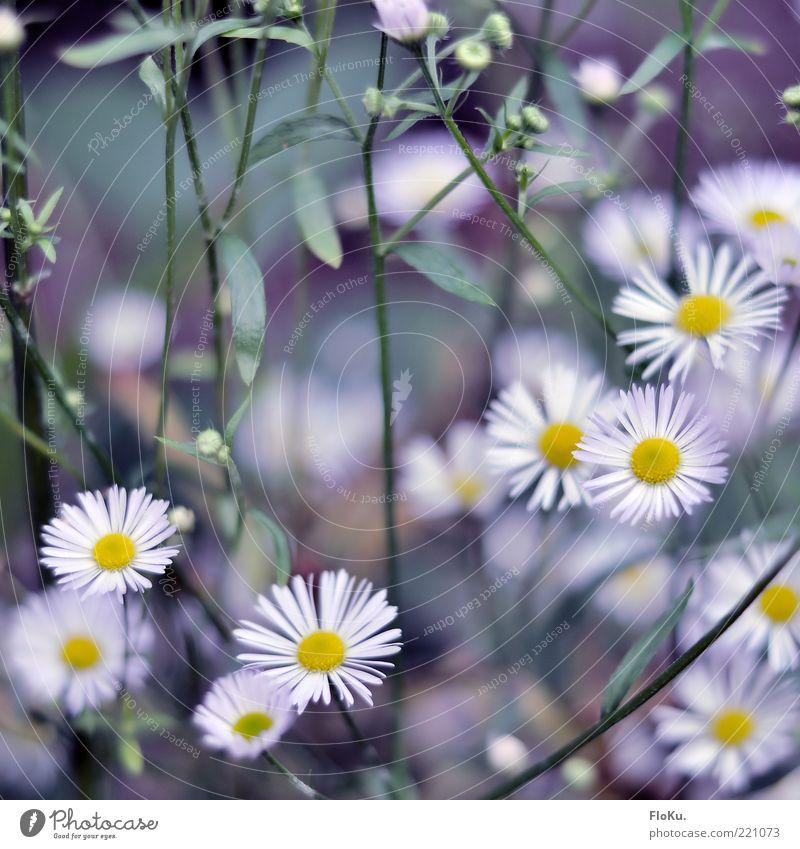 Kalte Blüten im Herbst Natur schön weiß Blume grün Pflanze Blatt gelb kalt Blüte klein Umwelt ästhetisch mehrere Gänseblümchen zierlich
