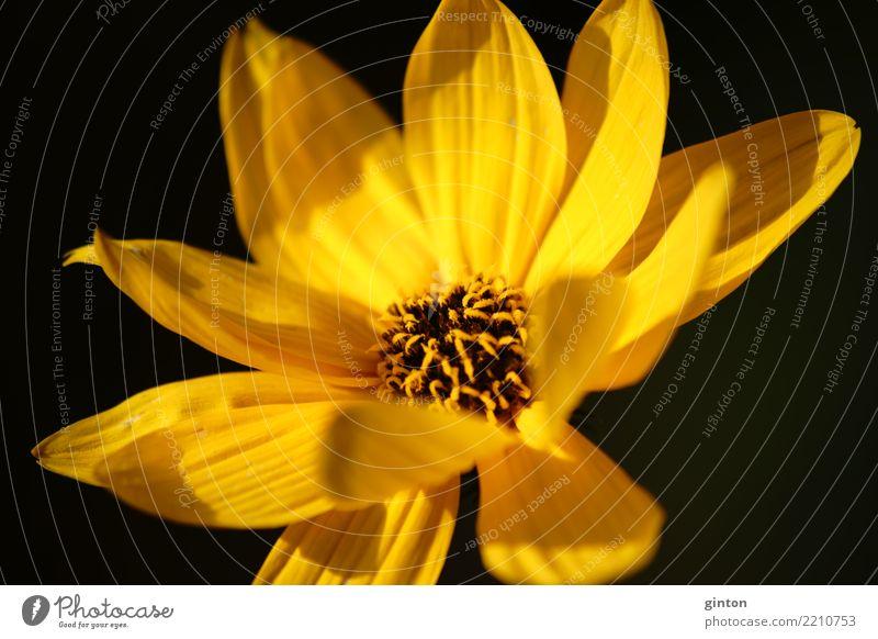 Blumenporträt Engelmannia peristenia Sonne Natur Pflanze Blüte Blühend glänzend leuchten gelb Porträt Blütenporträt Cologne Fine Art Natur Fine Art Blütenkelch