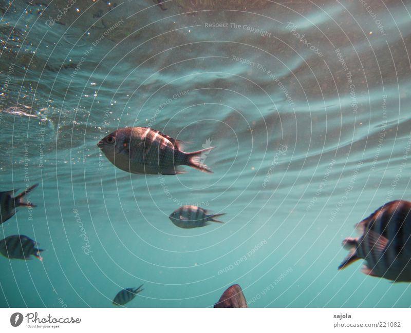 von den sonnenstrahlen gekitzelt Natur Wasser Meer blau Tier Wellen Umwelt Fisch Tiergruppe Wildtier Perspektive gestreift Schwarm Unterwasseraufnahme Licht