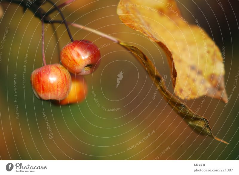 Äpfelchen Baum rot Blatt Ernährung Herbst klein Lebensmittel Frucht süß Apfel natürlich lecker hängen saftig Herbstlaub sauer