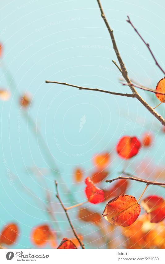 flammender Herbst... IV Umwelt Natur Pflanze Luft Wolkenloser Himmel Schönes Wetter Baum Blatt trocken blau Vergänglichkeit Wandel & Veränderung Herbstlaub