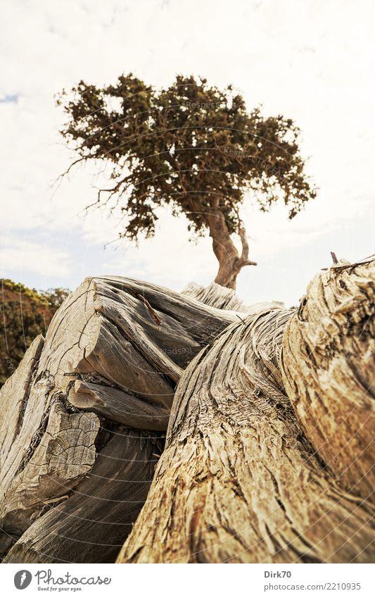 Wacholder auf Chrysi Ferien & Urlaub & Reisen Umwelt Natur Pflanze Himmel Baum Baumstamm Baumstumpf Baumkrone Wurzel Baumwurzel Wurzelholz Pinie Kiefer Wald