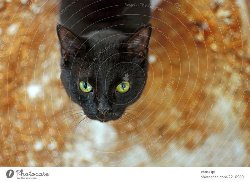 Halloween Katze Tier orange Gelassenheit Haustier Vorsicht geduldig Selbstbeherrschung