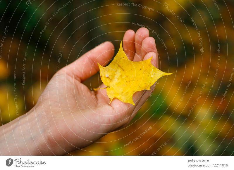 Gelbes Ahornblatt liegt in der Hand eines Mädchens Mensch feminin Junge Frau Jugendliche Erwachsene 1 8-13 Jahre Kind Kindheit 13-18 Jahre Umwelt Natur Pflanze