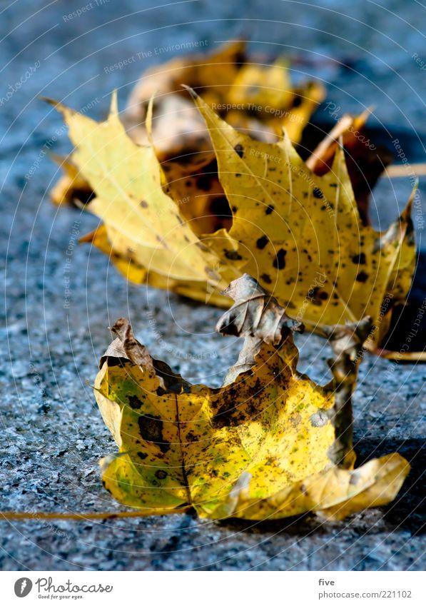 reihenweise Natur alt Pflanze Blatt gelb Herbst mehrere Boden liegen trocken Herbstlaub Detailaufnahme herbstlich Herbstfärbung Herbstbeginn