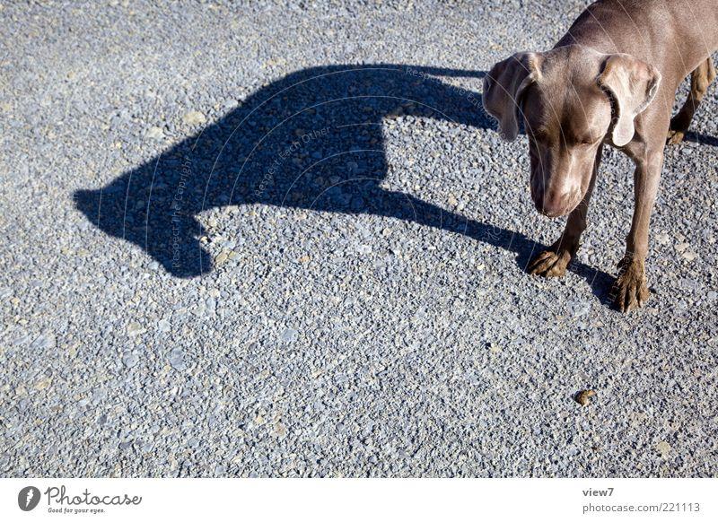 Hundeleben Tier Straße grau träumen Stein braun elegant ästhetisch stehen authentisch einfach dünn einzigartig Fell Erwartung
