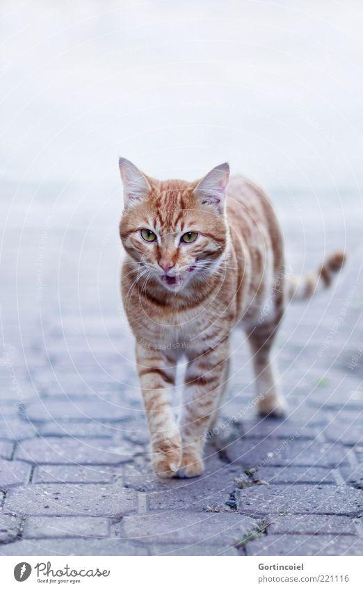 Kedi Tier Katze Tiergesicht Fell Pfote 1 elegant lutschen Katzenzunge Schnurrhaar Tigerfellmuster laufen Schnauze Maul rotbraun freilaufend freilebend