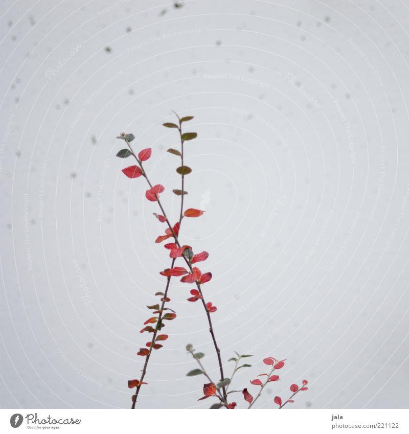 verzweigt grün Pflanze rot Blatt grau Zusammensein Fassade Wachstum Sträucher Zweige u. Äste gekreuzt